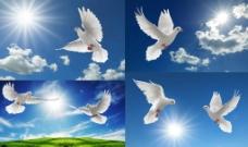 和平鴿圖片