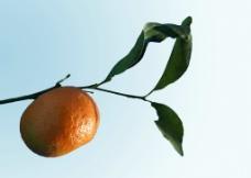 橘树枝图片