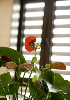 红掌 花卉图片