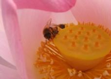 荷花 莲蓬 蜜蜂图片