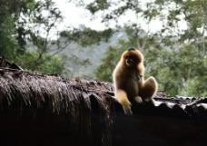 滇金丝猴图片