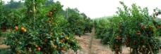 砂糖橘种植园图片
