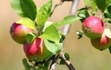 苹果 苹果树图片