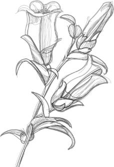 矢量素描花朵线描图图片