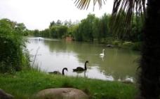 黑白天鹅图片