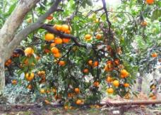 橘子熟了图片