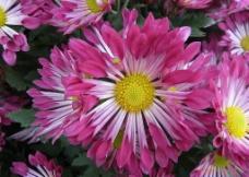 红色雏菊图片