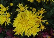 黄色雏菊图片