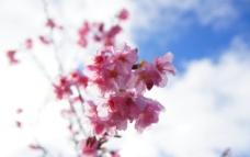 台湾 阿里山 樱花图片