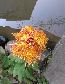金色菊花图片