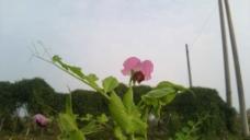 荷兰豆花图片