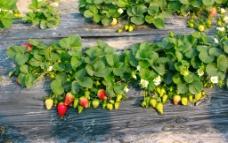 农场草莓图片