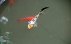 游鱼 锦鲤图片