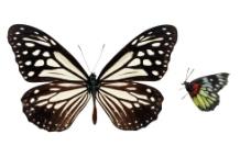 彩蝴蝶飞舞图片