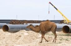骆驼摄影图片