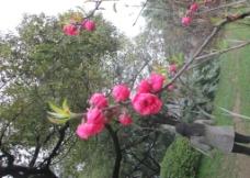 3月桃花图片