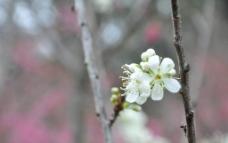 白樱花图片