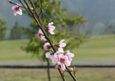桃花盛开图片