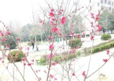 鲜红桃花图片