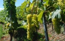欧洲 瑞士 葡萄园图片