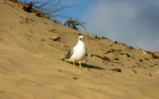 海鸥小鸟图片