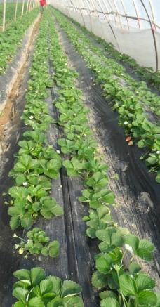 草莓 草莓病害 大棚种植图片