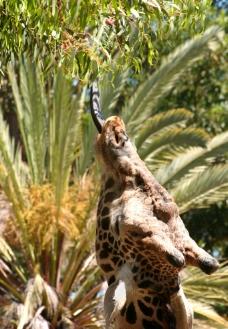 长颈鹿特写图片