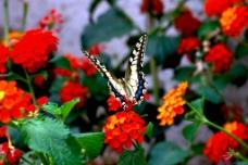 小蝴蝶特写图片