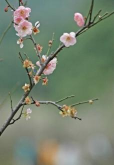 粉红色梅花图片