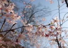 粉红色的樱花图片