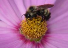 蜜蜂特写图片