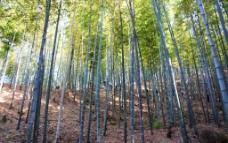 竹子树图片
